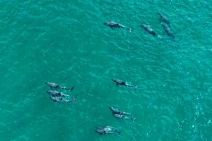 Golfinhos visitam Itacoatiara